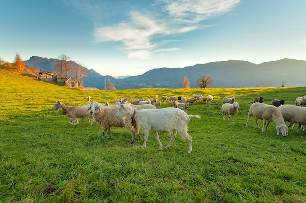 Farm with sheep and goats