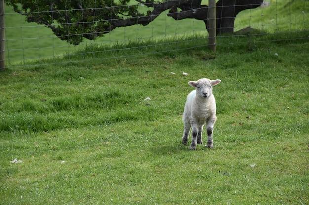 작은 흰 양이 서 있는 농장 마당.