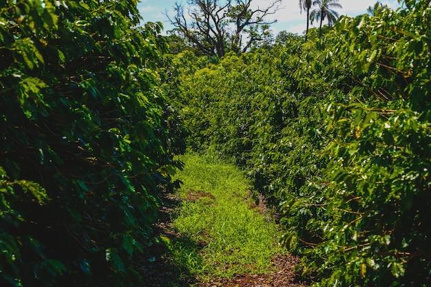コーヒー産業の農場