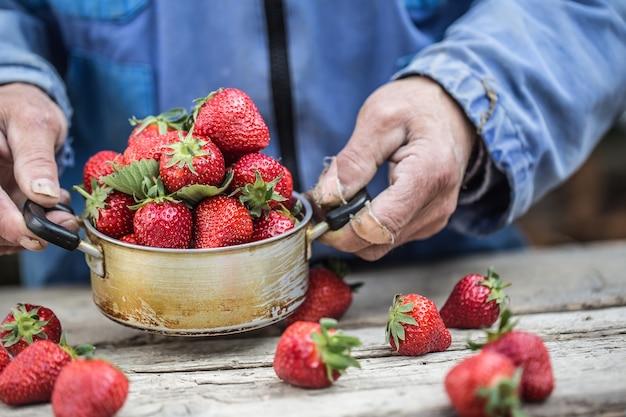 Руки фарме держат старый кухонный горшок, полный свежей спелой клубники.
