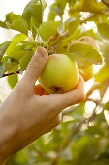 정원 일몰에 신선한 사과 따기 농부 성인 남자