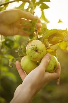 庭の夕日で新鮮なりんごを選ぶ農家の大人の男