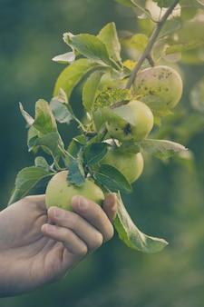 ガーデニングトーニングで新鮮なリンゴを選ぶファーマーの大人の男
