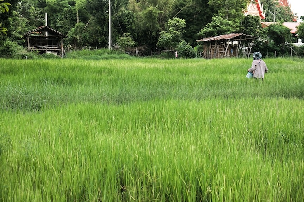 Farmer in agriculture flooded field of rice seedlings