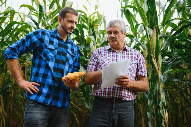 Farmer and an agronomist working in field inspect ripening corn cobs. two businessman checks ripening of corn cobs. concept of agricultural business. i work as businessman in agriculture