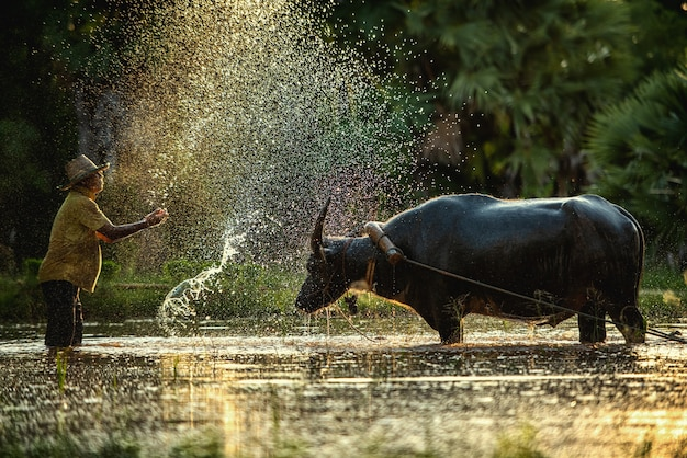 Фермер и буйвол на рисовом поле в таиланде
