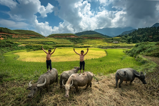 Farmer boy standing and playing on the back of a buffalo while they are raising buffalo in the rice fields at mu cang chai,yenbai,vietnam