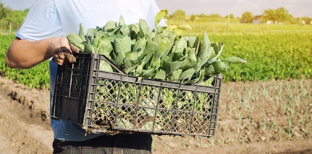 A farmer carry fresh cabbage seedlings in a box.