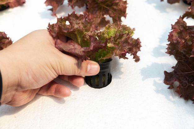 농부는 식물 보육 농장에서 수경 레드 오크를 확인합니다. 유기농 샐러드 야채.