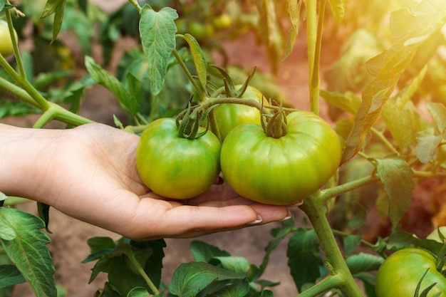 Farmer checks the crop of a tomato fruit on a plant