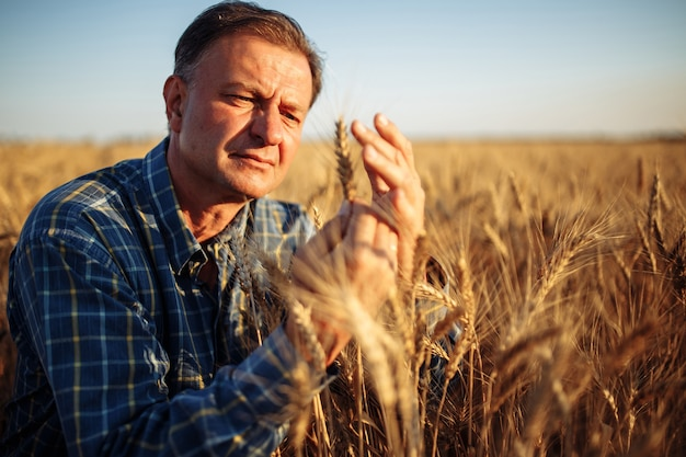 Farmer checks the quality of golden ripen spikelets on the wheat field.