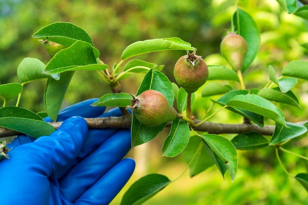 A farmer checks the ripening of a pear in early summer