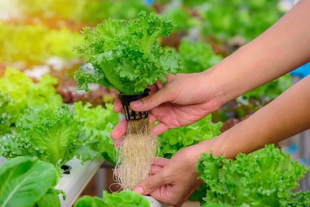 농부는 농장에서 녹색 수경 유기농 샐러드 야채를 수집
