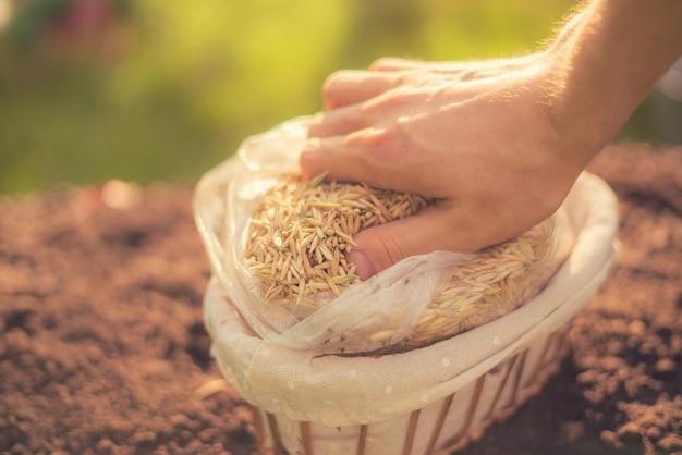 Фермер собирает сырые семена овса кукурузных злаков, новый органический сезонный урожай