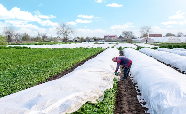 A farmer covers a potato plantation with agrofibre before a cold night opening of potatoes plants