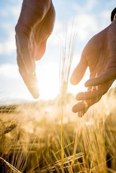小麦の穂の周りに手をかざす農夫