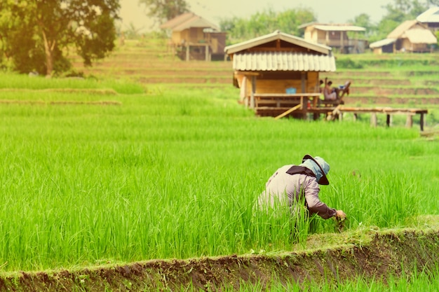 Farmer destroying the weeds in rice field
