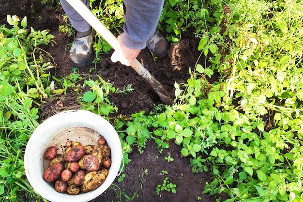 庭でジャガイモを掘る農夫。有機じゃがいもを収穫します。