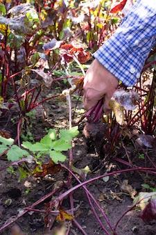 Фермер выкапывает свежую органическую свеклу с ботвой с земли, молодые сырые овощи с грядки.