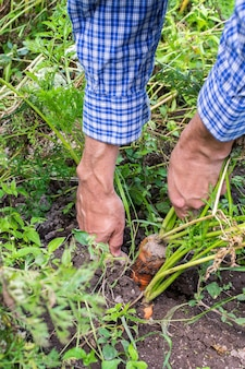 Farmer digs fresh organic carrots with tops from the ground, young raw vegetables from a garden bed