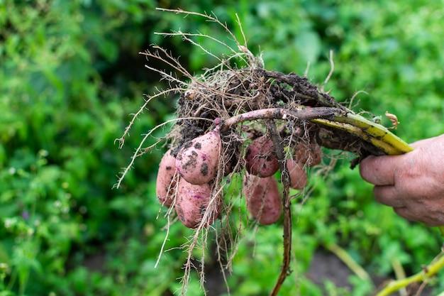 農夫は若いピンクのジャガイモを掘り、庭の収穫