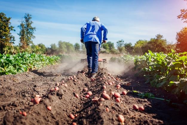 토양 경작과 감자 파기를 위해 작은 트랙터를 운전하는 농부. 가을 수확 감자 따기