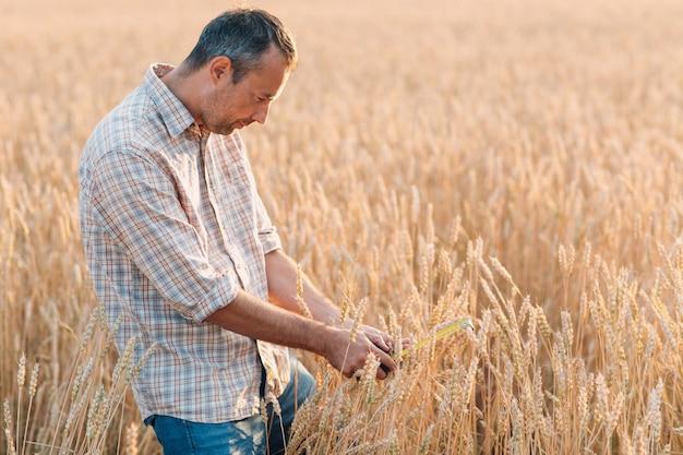 Фермер исследует и измеряет с помощью линейки колосья пшеницы на сельскохозяйственном поле. концепция богатого урожая.