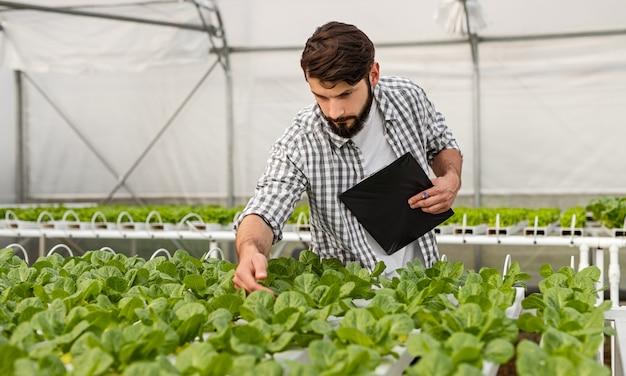 Farmer examining lettuce growing in hydroponic greenhouse