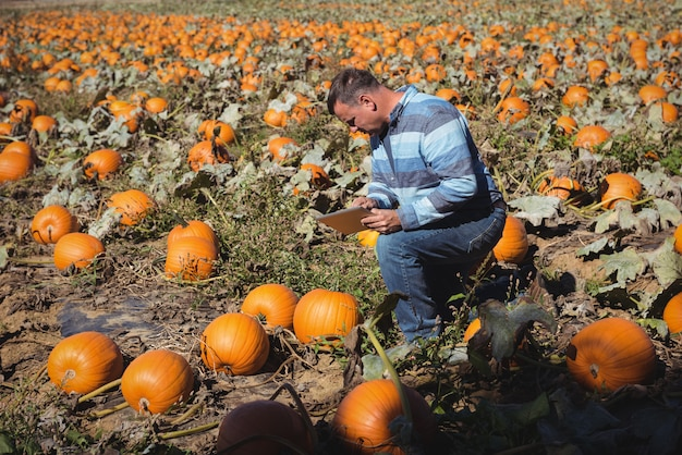 Farmer examining pumpkin in field