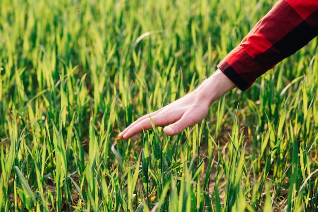 Farmer examining young wheat crop plant in agricultural field