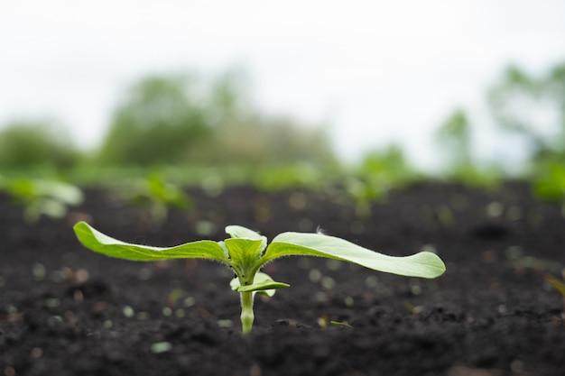 Фермерское поле с маленькими молодыми ростками подсолнечника