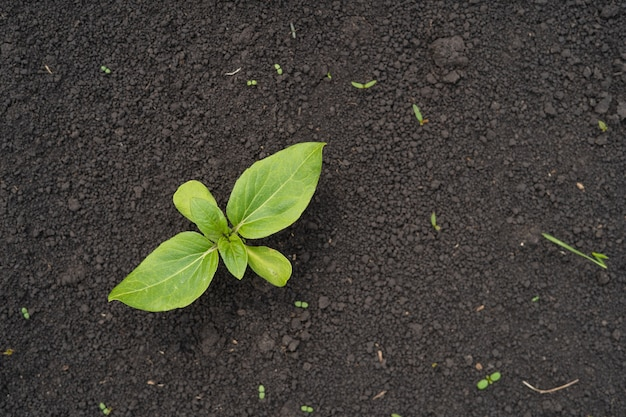 ヒマワリの小さな若い芽のある農地
