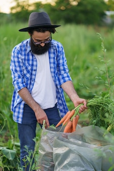 A farmer fills plastic sacks with fresh carrots in the garden, orange roots, green leaves, fresh vegetables, healthy food and vitamins