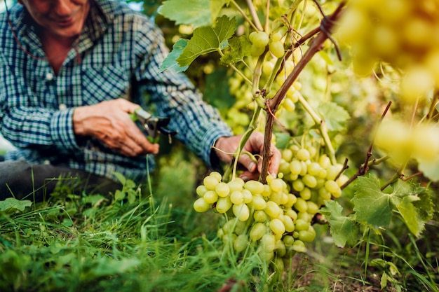 Farmer gathering crop of grapes on ecological farm.