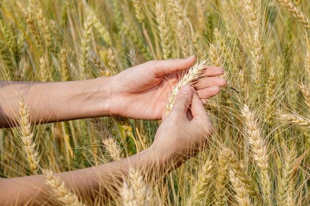 Фермер девушка рука ухо ячменя.