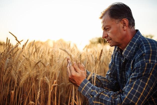 Фермер встал на одно колено, проверяя качество зерна пшеницы среди золотых спелых колосков на поле.