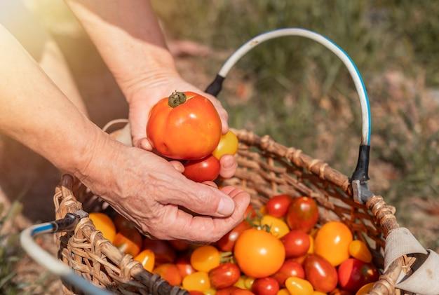 Рука фермера крупным планом с помидорами над плетеной корзиной с красными и оранжевыми спелыми свежими органическими овощами ...