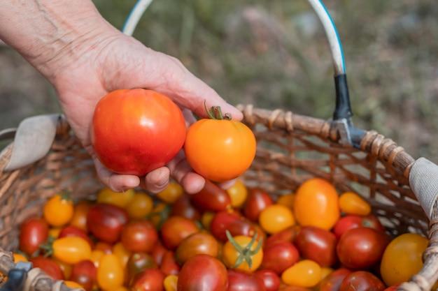 Крупный план руки фермера с помидорами над плетеной корзиной с красными и оранжевыми спелыми свежими органическими овощами ...