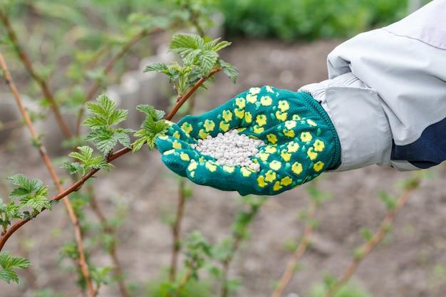 Рука фермера, одетая в зеленую перчатку, держит химические удобрения рядом с кустами малины в саду. весенний уход за садом.