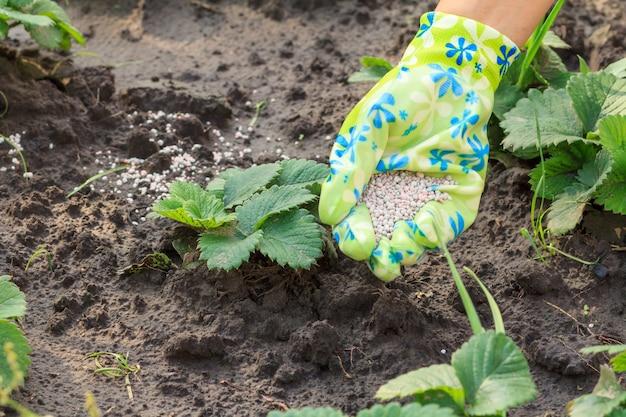 Рука фермера, одетая в латексную перчатку, вносит химические удобрения в молодые растения клубники