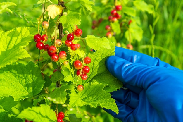Farmer hand in a glove holding a branch of red currant