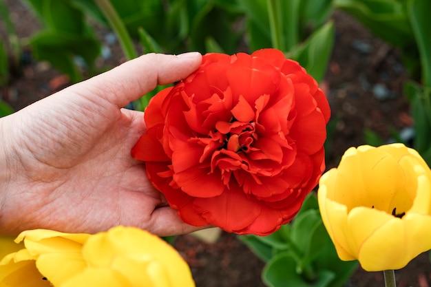 庭に咲く赤いチューリップの美しい花を持っている農夫の手。閉じる