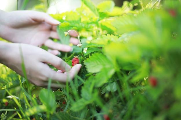 농부는 성장하는 유기농 자연 익은 빨간 딸기를 들고 모자베스트를 따기 위해 익은 것을 확인합니다. 맛있는 주스 건강한 딸기 농장. 농작물식품사업