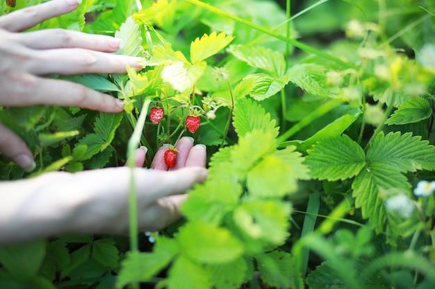 수확을 위해 익은 것을 확인하는 유기농 천연 익은 빨간 딸기를 들고 있는 농부의 손