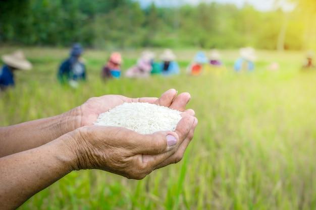 Farmer hand holding rice over in a farm