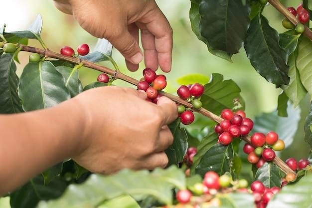 農家の手が有機農場の植物に栽培しているアラビカコーヒーの果実を収穫しています