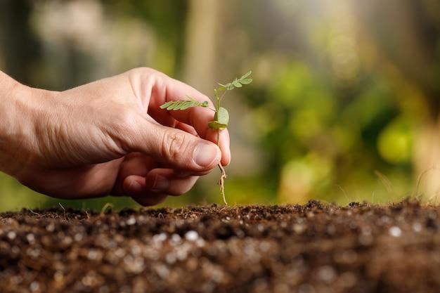 肥沃な土壌に若い芽を手植えする農家。