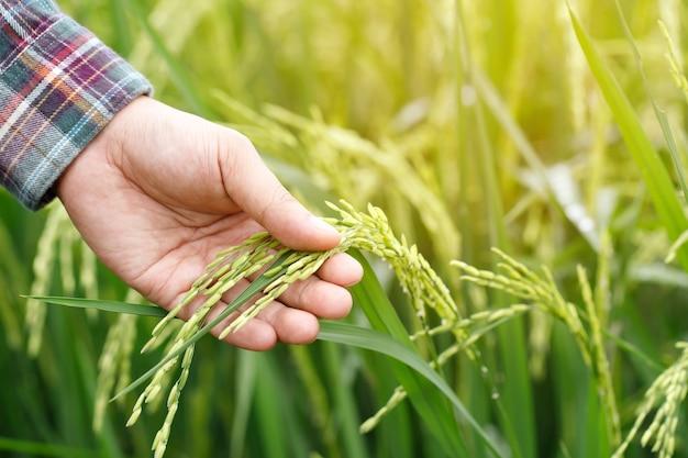 Рука фермера с рисовым полем.