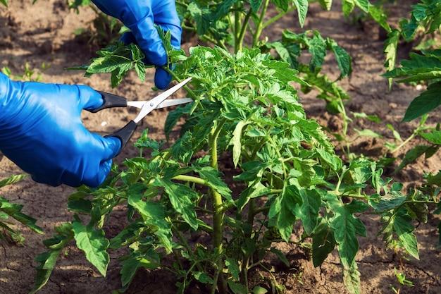 Руки фермера в синих перчатках режут ножницами побеги помидора в саду