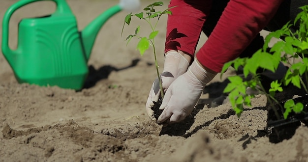 Фермер руки сажает рассаду томатов в огороде на фоне лейки для полива, органического земледелия и концепции весеннего садоводства